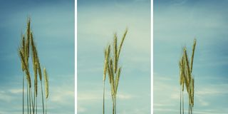 Collection of wheat ears isolated on blue, cyan cloudy sky in ba. Ckground royalty free stock images