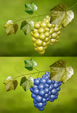 Collection of white and blue grape with natural background Stock Photo