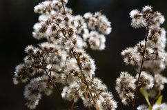 Collection of White Burs Waiting on an Autumn Bush Stock Images