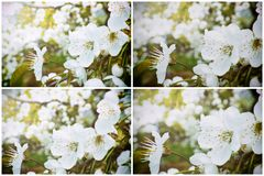 Collection of white Cherry blossoms royalty free stock photos