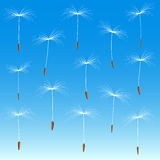 Collection of white fluff of dandelion. Isolated on a blue background Stock Photo