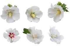 White Hibiscus Collection stock photos