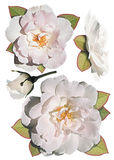 Collection of white roses. Isolated on white background stock images