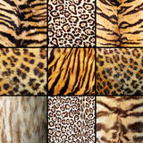 Collection of wild cats fur. Tigers, leopards and ocelot Royalty Free Stock Photos