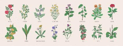 Collection of wild meadow herbs, blooming flowers and tropical plants with edible berries hand drawn in vintage style. And isolated on white background Royalty Free Stock Images
