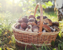 Collection of wild mushrooms in basket on the ground Royalty Free Stock Images