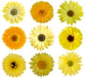 Collection of Yellow Flowers Royalty Free Stock Images