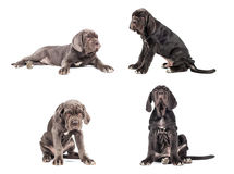 Collection of young puppy italian mastiff cane corso 3 month. On white background Stock Photo