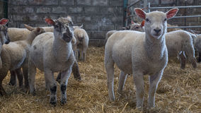Collection of young white lambs. A collection of young lambs standing of a floor of straw hey Royalty Free Stock Photo