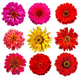 Collection of Zinnia elegans Royalty Free Stock Images