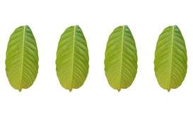 Collections de feuille tropicale de feuillage vert d'isolement sur les backgrouds blancs illustration stock