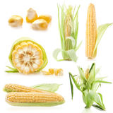 Collections of Fresh raw corn cobs. Isolated on the white Royalty Free Stock Photos