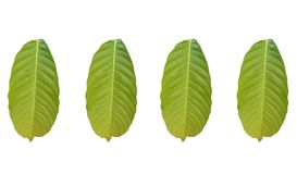 Collections of Green foliage tropical leaf isolated on white backgrouds stock illustration