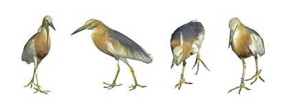 Collections Of Indian Pond Heron Or Ardeola Grayii Bird Royalty Free Stock Photos