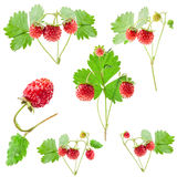 Collections of Wild strawberry Stock Photography