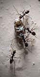 Collector Ants. Ants working their way to bring home dinner Royalty Free Stock Images