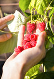 Collects in his hand handful beautiful ripe raspberries Royalty Free Stock Photos