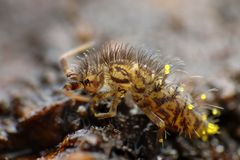 Collembola (Springtail)   arkivfoton