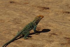 Collered Lizard Royalty Free Stock Images