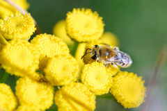 Colletes simulans or plasterer bee. A Colletes simulans also known as plasterer bee or or polyester bee, foraging on a yellow Tansy flower Tanacetum vulgare royalty free stock image