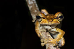Collett's Tree Frog. (polypedates colletti) sat on a tree branch in a Rainforest in Borneo stock image