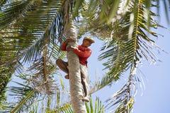 Collettore delle noci di cocco Fotografia Stock Libera da Diritti