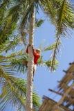 Collettore delle noci di cocco Immagine Stock Libera da Diritti