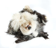 Colley barbu, 4 années, de blanc Photographie stock