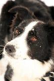 Colley de cadre dans la neige. Images stock