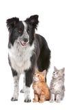 Colley de cadre et deux chatons Photos libres de droits