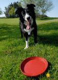 Colley de cadre et frisbee rouge Photo stock