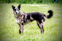 Colley de chien rayé et berger frontaliers de Belge Photo stock