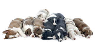 Colleys de cadre de chiots Photo stock