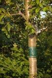 Collez la bande attachée autour du tronc d'un arbre Photos stock