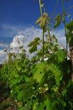 Colli Orientali del Friuli wine region, Italy. Royalty Free Stock Photo
