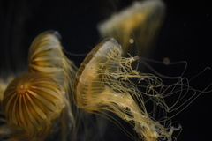 Colliding jellyfish Stock Photos