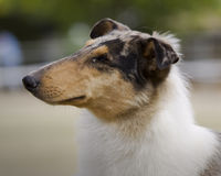 collie Royaltyfria Bilder