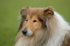 Collie Royalty Free Stock Photo