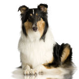 Collie ( 2 years ) Royalty Free Stock Image