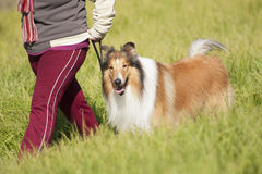Collie Stock Photography
