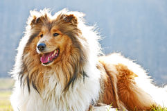 Collie Royalty Free Stock Image