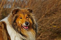 Collie Royalty Free Stock Photos