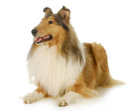 Collie Immagine Stock