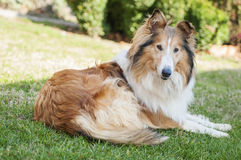 Collie Stock Image