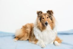 Collie stockbilder