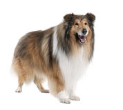 Collie (4 years old) stock photo