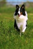 collie, Obraz Royalty Free