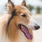 collie royaltyfria foton