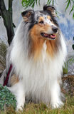 Collie stock photo