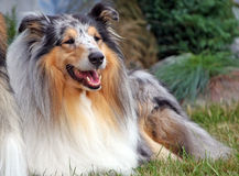 Collie Stock Photos